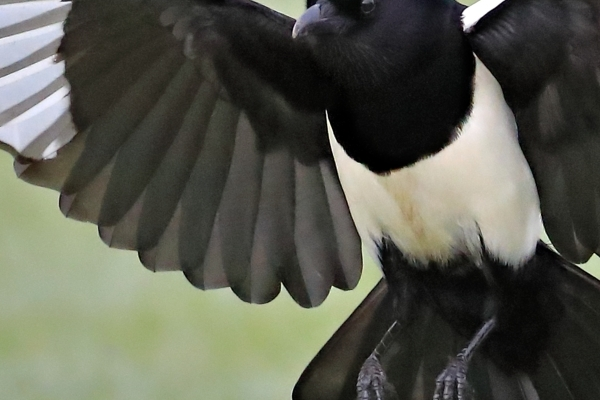Canon EOS 1D X mark II - Andy Rouse Magpie